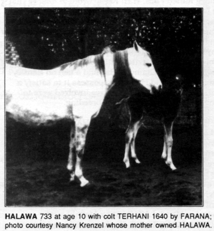 HALAWA 733 at age 10 with colt TERHANI 1640 by FARANA; photo courtesy Nancy Krenzel whose mother owned HALAWA.