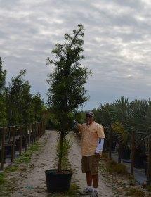 Podocarpus Standard