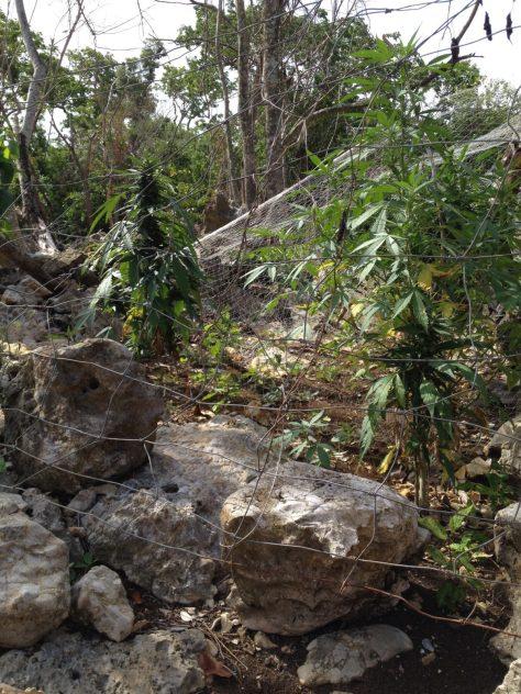 Hard ground ganja in Jamaica