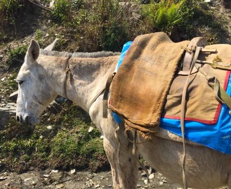 annapurna - donkey