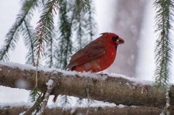 Jan 21 2015 Snowbirds-012