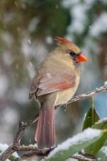 Jan 21 2015 Snowbirds-013