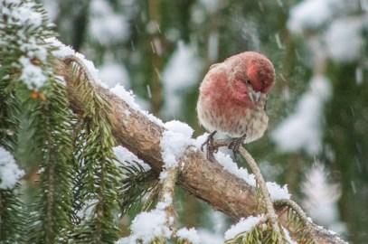Jan 21 2015 Snowbirds-019