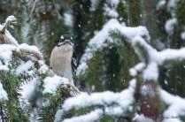 Jan 21 2015 Snowbirds-021