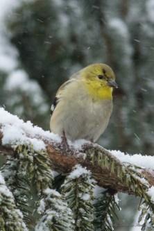 March 5 2015 Snowbirds-003