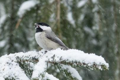 March 5 2015 Snowbirds-004