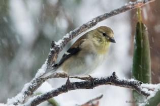 March 5 2015 Snowbirds-014