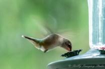 Hummingbirds 2018 - 02