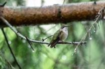 Hummingbirds 2018 - 04