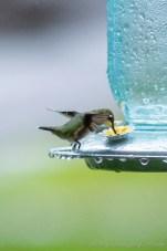 Hummingbirds 2018 - 06