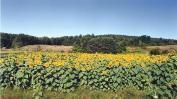 Field of sunnies