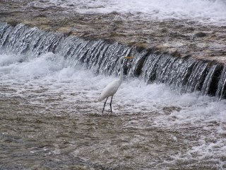 And the money shot. White crane, falling water