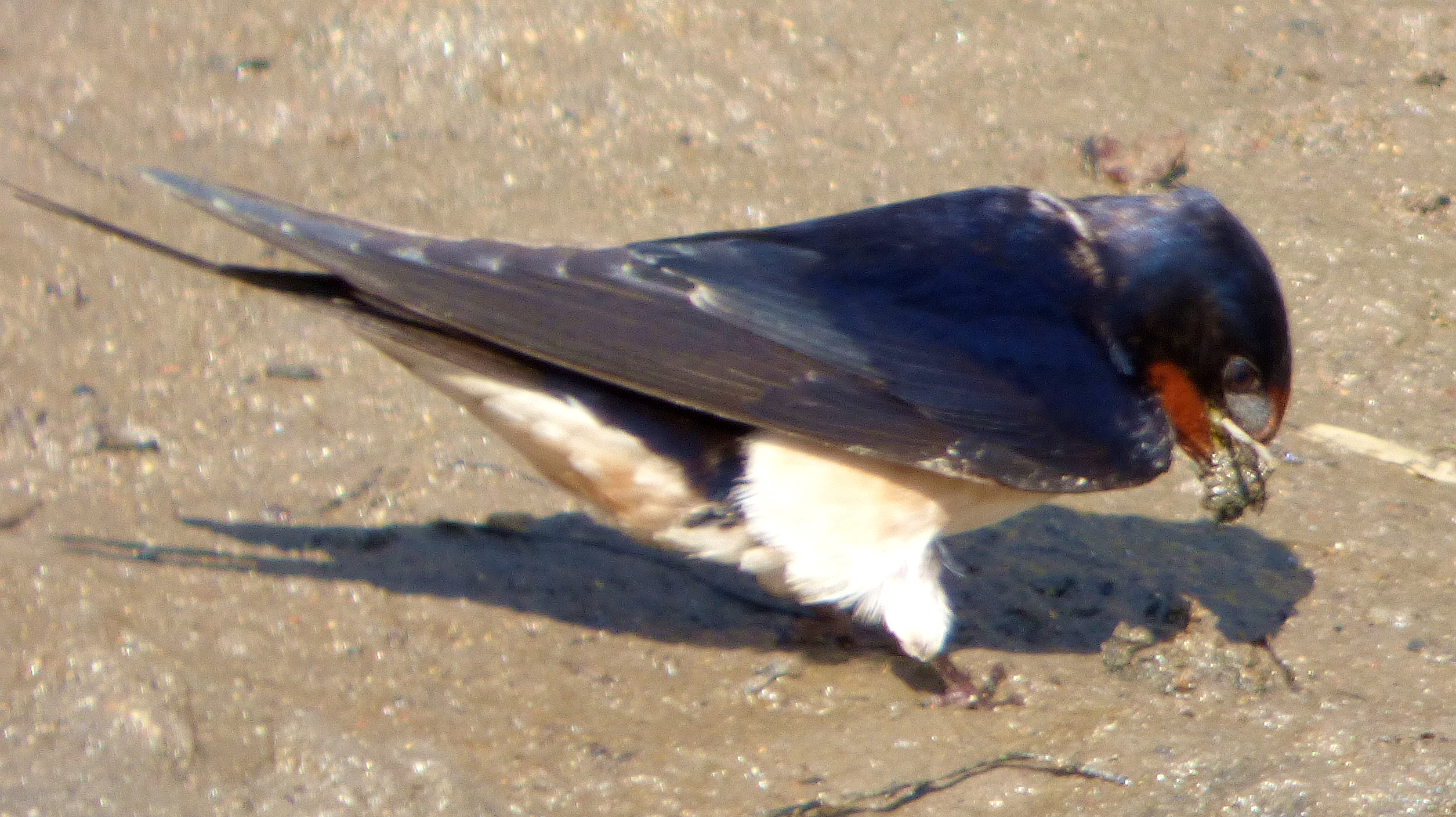 Swallows in the mud