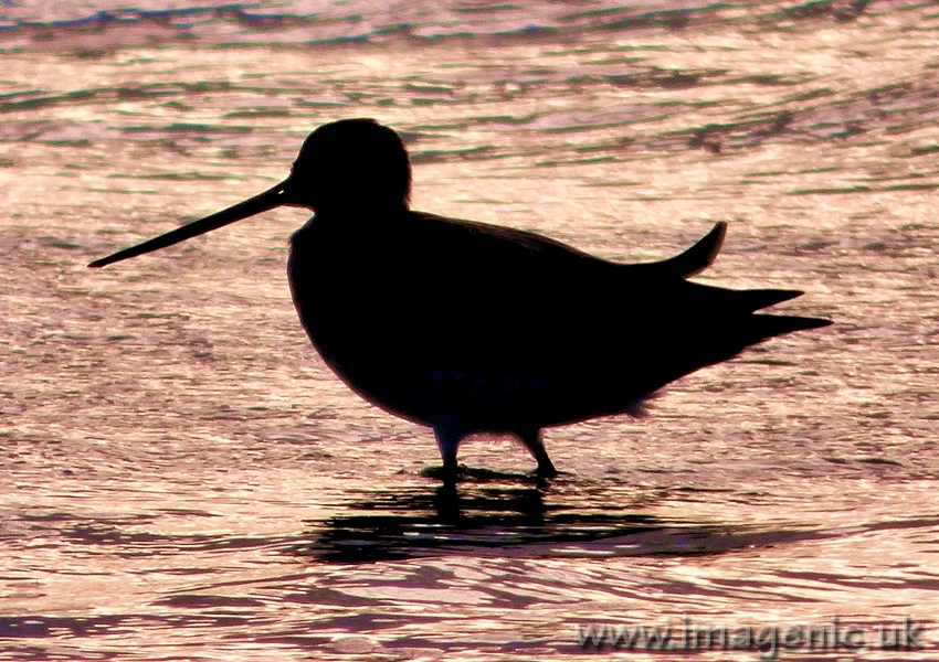 bar tailed godwit silhouette