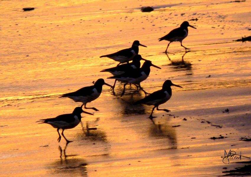 oystercatchers running