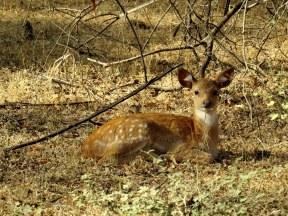 Spotted Deer, Ranthambore National Park