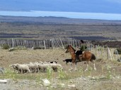 Getting the sheep ready for shearing at Estancia Cerro Guido