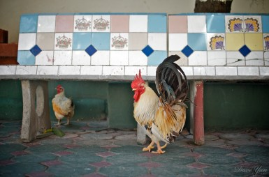 dave_yan_rooster_chiangmai2