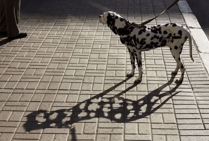 A Dalmatian casting a shadow with holes where the spots would be.