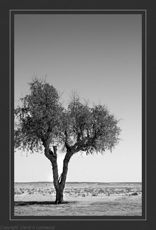 Lone tree - Duqum Rd