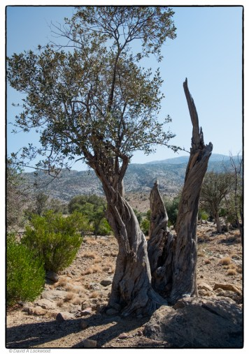 wild-olive-very-old