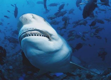 Engenheiro marítimo não concorda com quem afirma que tubarões são animais agressivos (Foto: Klaus Jost)