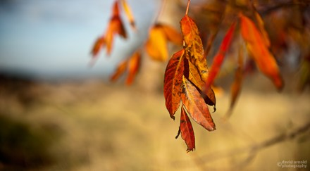 Red Leaves, Gold Grass