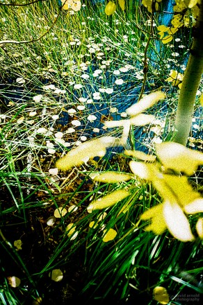 Aspen Leaves, Lake Tahoe State Park, Nevada. (Fuji Film RVP 100 film, process C-41).