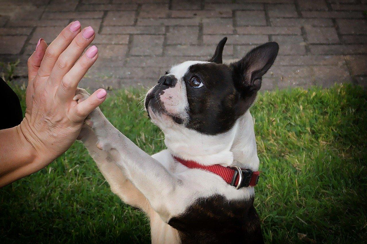 protocolo cds para mascotas