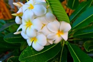 plumeria_in_bloom