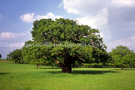 England: Ancient oak tree in high summer