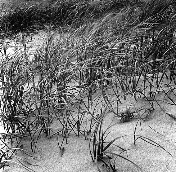 Grasses colonising and stabilising sand dune