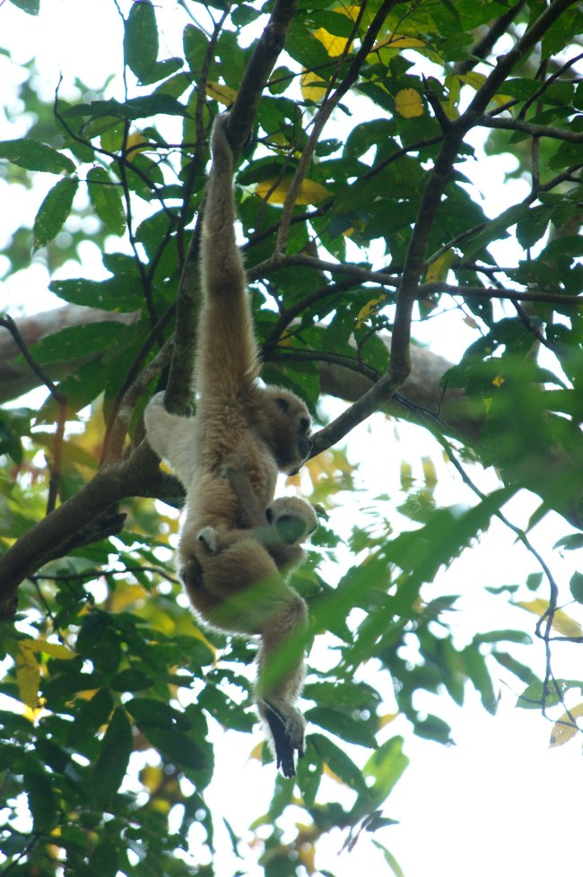 Agile Gibbon and young Thailand
