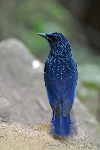 Blue Whistling Thrush Thailand