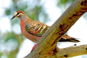Common Bronzewing Australia