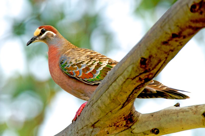 Common Bronzewing Australia