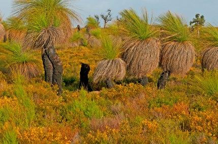 Grass-Trees,-coastal-Western-Australia--3450