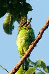 Green Eared Barbet Thailand
