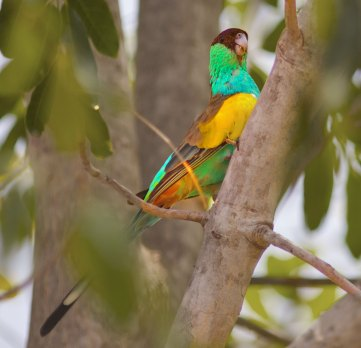 Hooded Parrot Northern Territory Australia