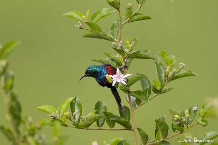 Male Red Chested Sunbird