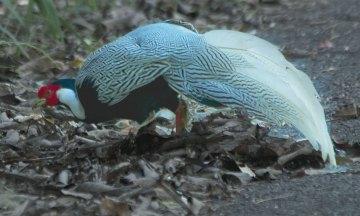 Male-Silver-Pheasant---Thailand--3506