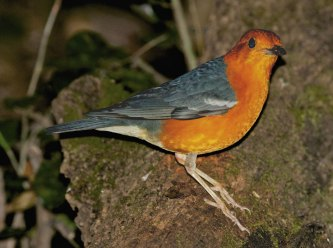Orange-headed Thrush Thailand