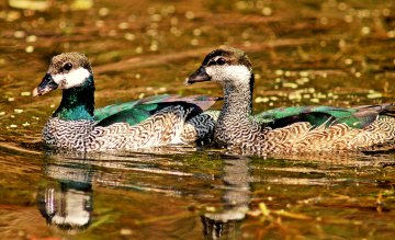 Green Pygmy Geese