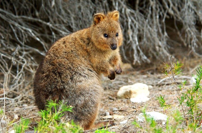 Quokka Western Australia
