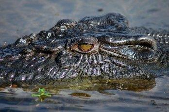 Saltwater Crocodile Northern Australia