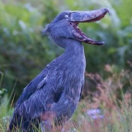 Shoebill (Stork) Uganda