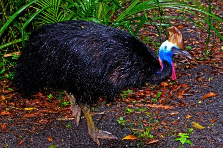 Southern Cassowary New Guinea