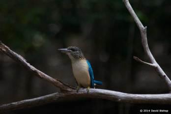 Spangled Kookaburra - PNG