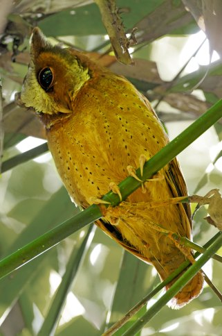 White-fronted Scops Owl Thailand