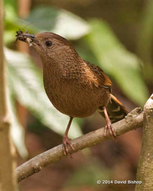 Bhutan Laughing Thrush